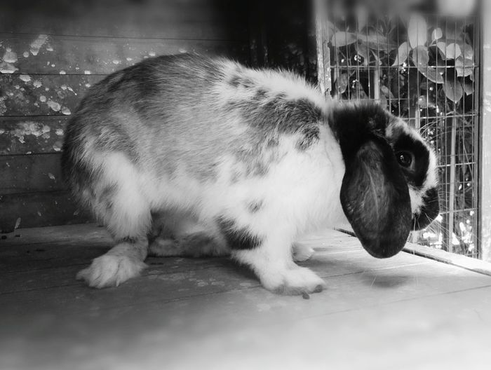 One Animal Animal Themes Domestic Animals Rabbit Portrait Rabbits 🐇 Bnw_collection Pets Bnwphotography Bnw_captures Black And White Cuteness Cute Animals