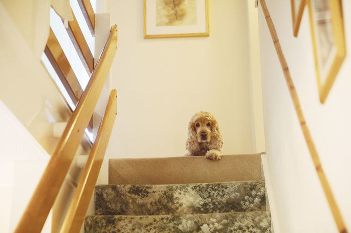 A cute fluffy dog at the top of the stairs Mammal Animal Themes One Animal Animal Architecture Domestic Domestic Animals Canine Pets Built Structure Dog Staircase Steps And Staircases Portrait Looking At Camera Building Vertebrate No People Window Indoors  Puppy