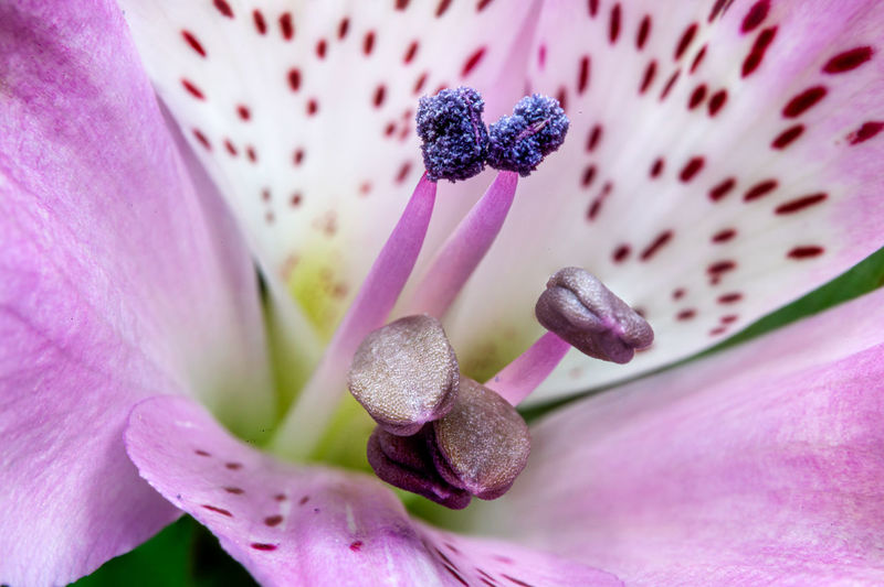 Light pink alstroemerias - peruvian lily flower