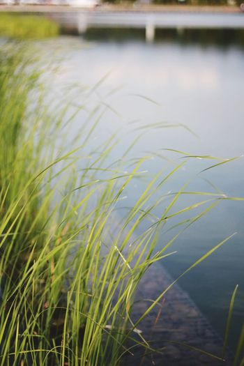 Close-up of grass growing in river