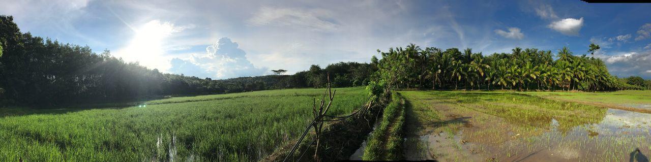 Panorama scenery blue skies rice field