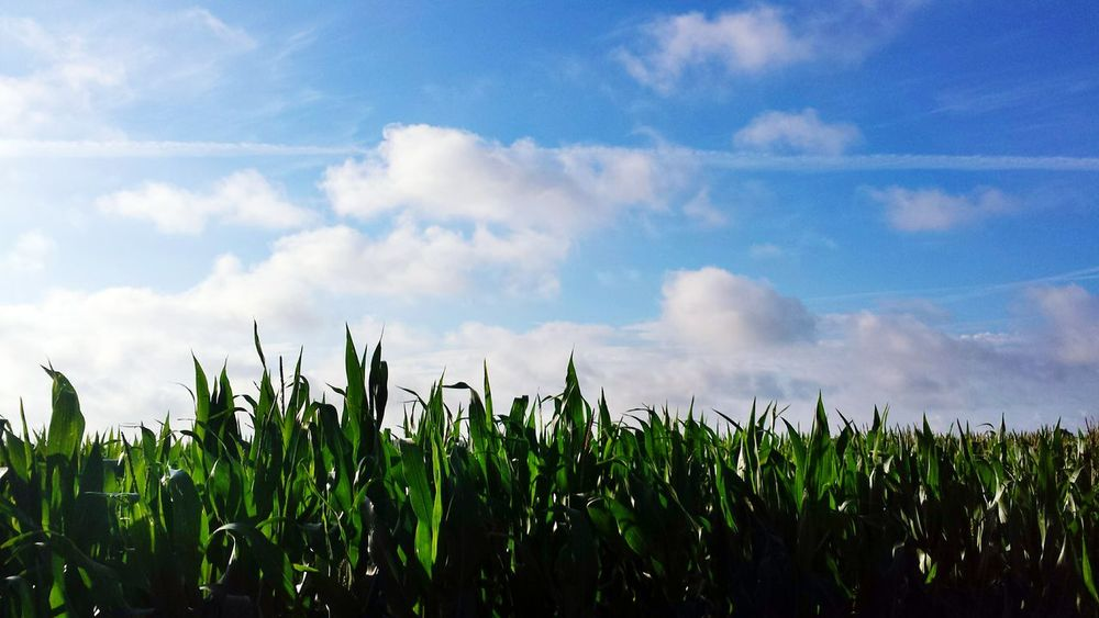 Showcase July Summer Blue Sky Grass Green Blue Sky Blue Skies Countryside Farm Life Crops TakeoverContrast