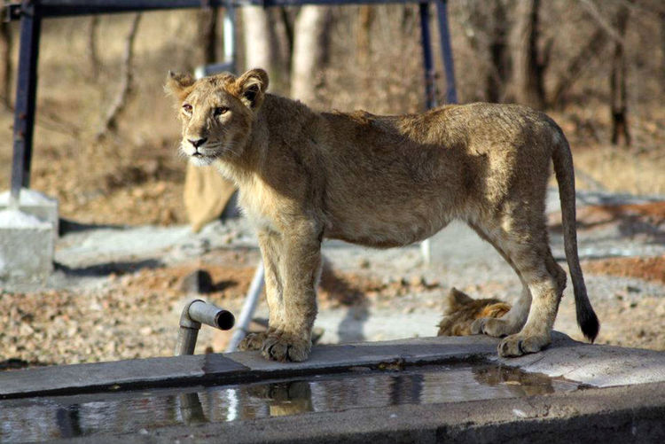 Gir National Park Animal Themes Animal Wildlife Animals In The Wild Day EyeEmNewHere Feline Lion - Feline Lion Cub Lioness Mammal National Park Nature Nature Photography No People One Animal Outdoors Rakeshtiwari Wildlife Wildlife & Nature Wildlife Photography