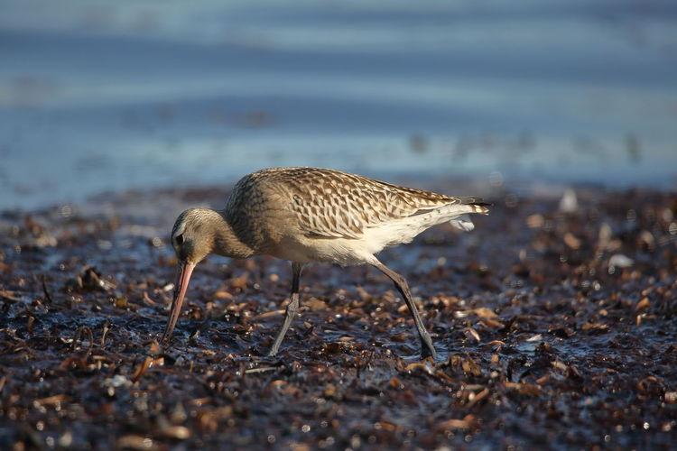 Side view of bird walking at beach