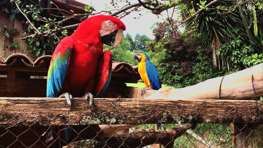 Araras Araraazul AraraVermelha Birds Parrot Nature