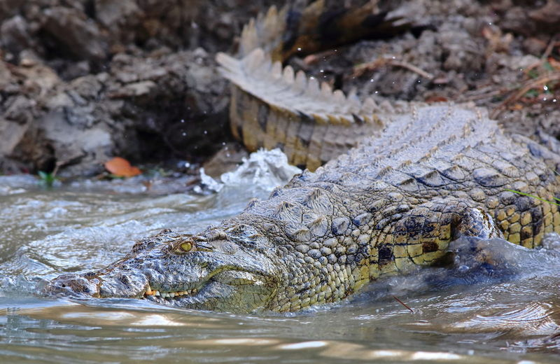 Close-up side view of crocodile in water