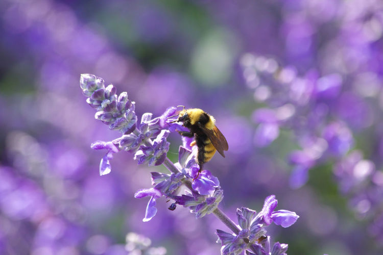 Beauty In Nature Bee Bumblebee Close-up Flower Flowering Plant Fragility Freshness Growth Insect No People Plant Purple