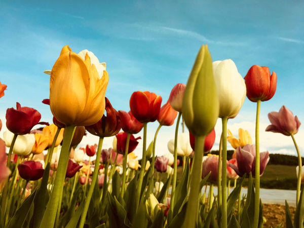 Visual Creativity Beauty In Nature Close-up Field Flower Flower Head Flowering Plant Fragility Freshness Growth Inflorescence Land Nature No People Outdoors Petal Plant Plant Stem Sky Spring Tulip Vulnerability  Yellow