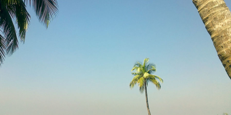 Beauty In Nature Blue Clear Sky Growth Low Angle View Nature Outdoors Palm Tree Tall Tall - High Tree Tree Trunk