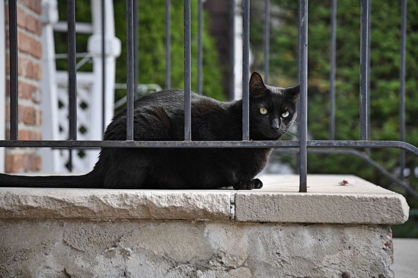A black cat hangs out on a stoop in a suburban neighborhood One Animal Mammal Vertebrate Domestic Pets Feline Day Whisker Bars Stoop Black Color Outdoors Outside Cats Portrait Eyes Face Ears Looking Away Red Brick Looking At Camera Close Up Loaf Full Body Steps Animal EyeEmNewHere A New Beginning