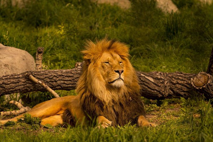 Portrait Of Lying Lion