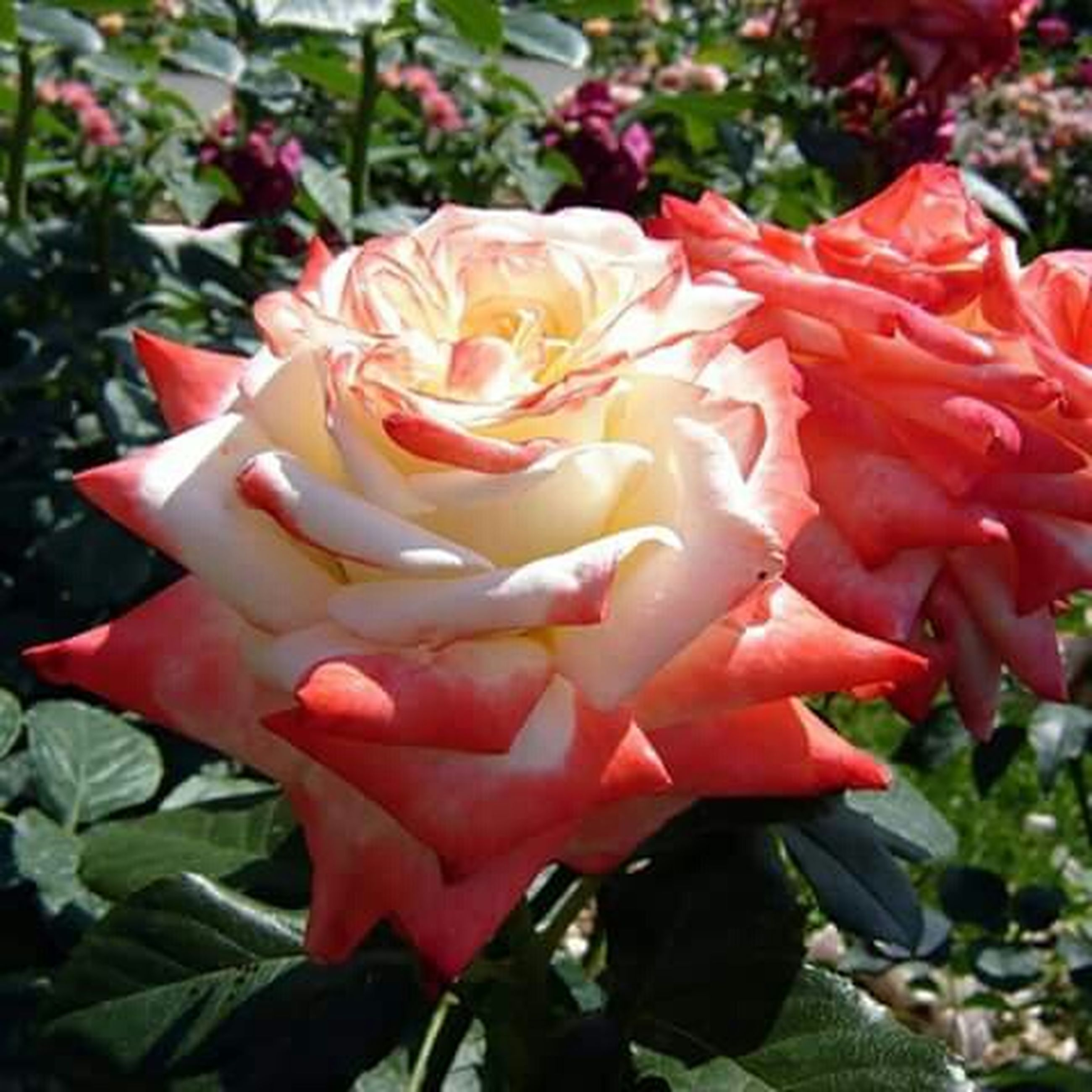 flower, petal, flower head, freshness, fragility, red, growth, rose - flower, beauty in nature, blooming, close-up, nature, plant, leaf, focus on foreground, rose, in bloom, single flower, park - man made space, day