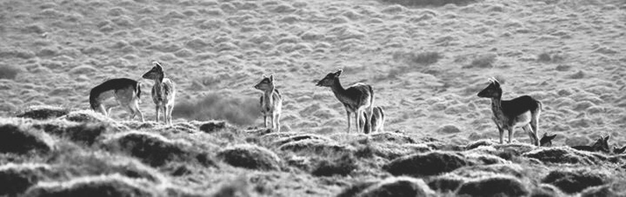 Fallow Deer Deer Wildlife & Nature Wildlife Mist Fallowdeer Showcase: March Nature Nature Photography Blackandwhite