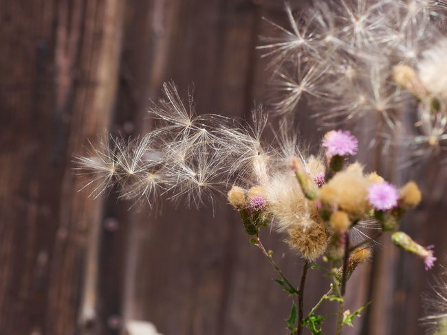 Summertime Beauty In Nature Close-up Dandelion Dandelion Seed Day Flower Flower Head Flowering Plant Flowers Focus On Foreground Fragility Freshness Growth Inflorescence Nature No People Outdoors Pink Color Plant Selective Focus Softness Thistle Thistle Flower Vulnerability