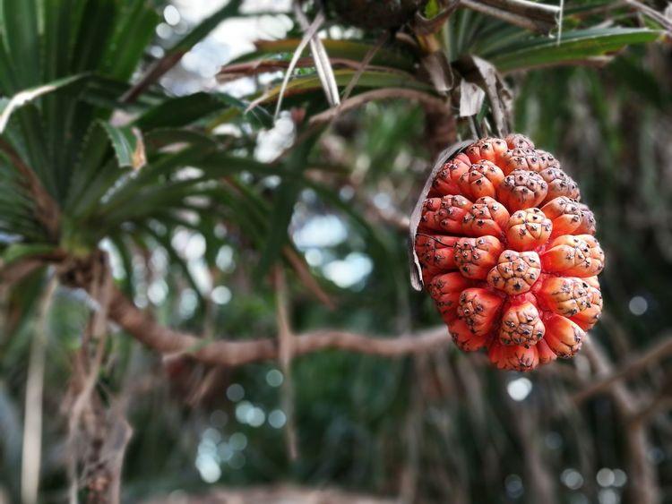 Pandanus Tree Tree Nature