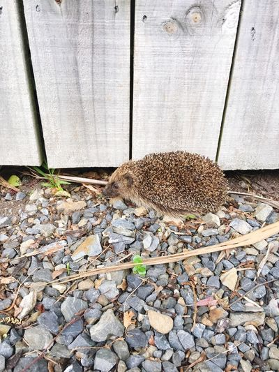 Hedgehog by the fence Animal Themes One Animal Mammal Animal Wildlife Hedgehog Outdoors Fence Wooden Fence