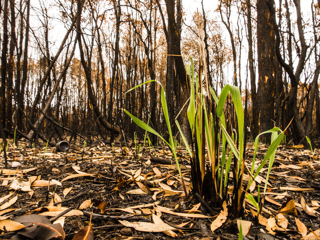 Beauty In Nature Bushfire Day Forest Forest Fire Growth Leaf Lennox Head Nature No People Outdoors Plant Tree