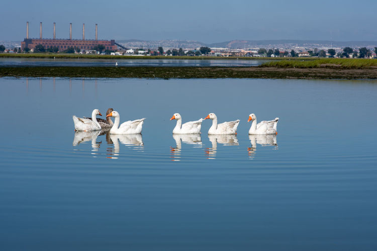 Family Water Animal Themes Animal Wildlife Animals In The Wild Bird Animal Group Of Animals Vertebrate Waterfront Lake No People Nature Day Reflection Architecture Built Structure White Color Building Exterior Beauty In Nature Outdoors Flock Of Birds Gooses Family Goose
