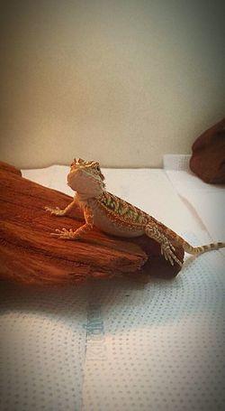 O Barrigudo da casa. Pogona Mylovepogona Bearded Dragon