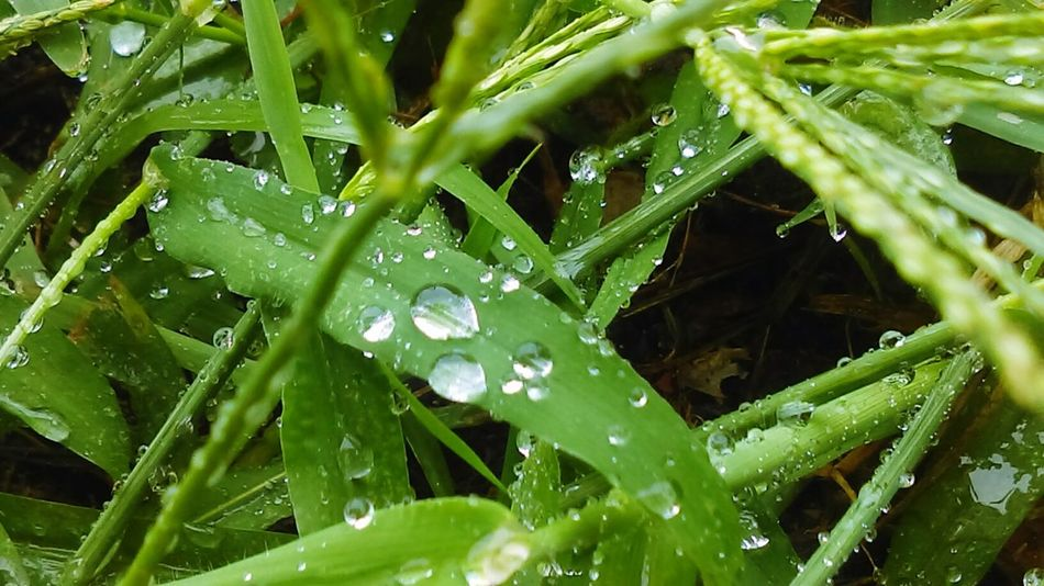 Taking Photos Check This Out Hello World Grass Blades Rain Drops Rainy Summer Day Green Great Find Wet Out Side Check This Out! Hello World ✌ Over Growth 2016♡ Michigan Summer ☀ Nature_collection Out Side~♥ Pretty♡