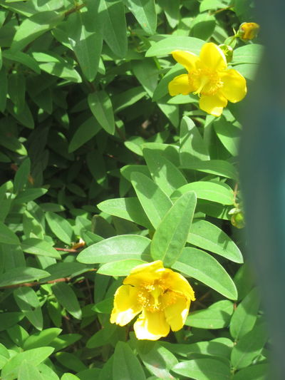 Paint The Town Yellow Beauty In Nature Blooming Blossom Botany Close-up Daffodil Day Flower Flower Head Fragility Freshness Green Color Growth Leaf Nature No People Outdoors Petal Plant Yellow
