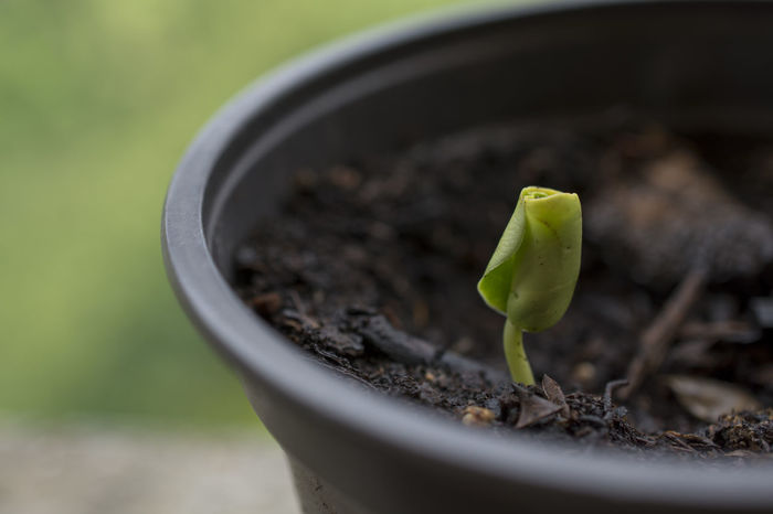 First Leaves New Life Sapling Scion  Botanic Botanical Botany Calicanto Calicantus Growth New Life Plant Planting Sapling Sprout Green Thumb Germination Germinated Germinate Calycanthus Praecox Gardening Garden Love
