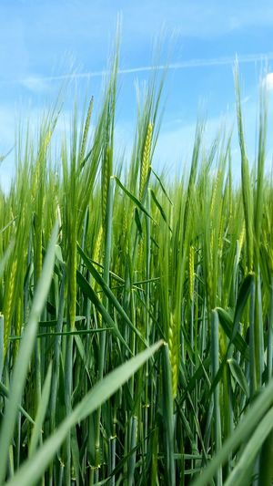 out in the fields , young wheat My Best Photo 2015 Eyeem Plants Wheat Spring Agriculture Closeup Taking Photos Outdoors Tadaa