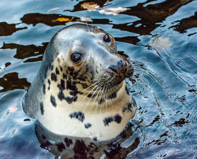 Close-up of seal in sea