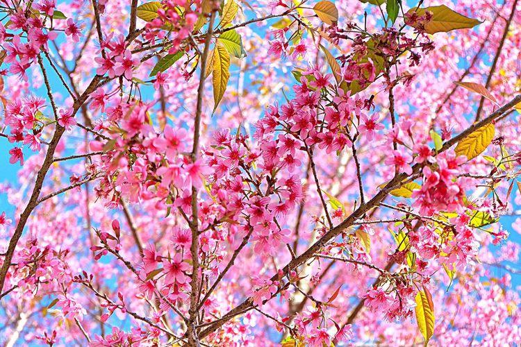 Full frame shot of pink flower tree