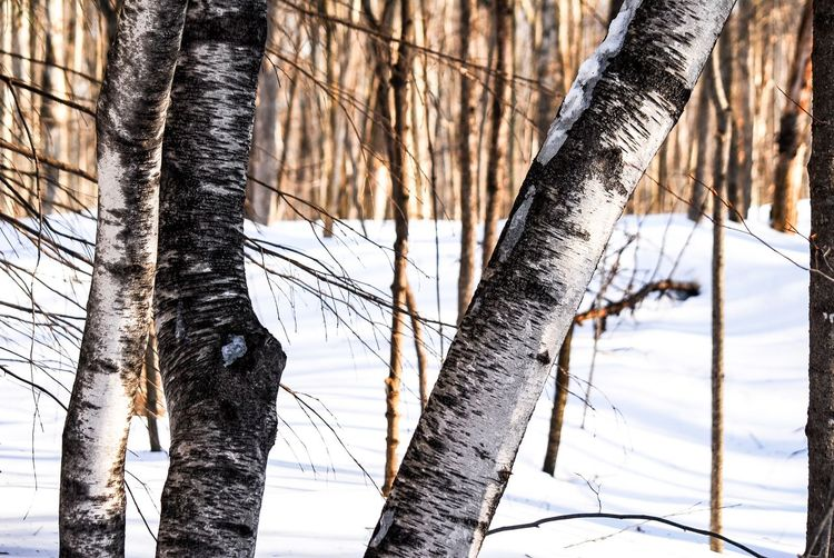 Walking in the woods Winter Tree Trunk Plant Cold Temperature Snow Nature Tree Trunk Tranquility No People Focus On Foreground Day Land Beauty In Nature Branch Outdoors Forest Close-up Growth