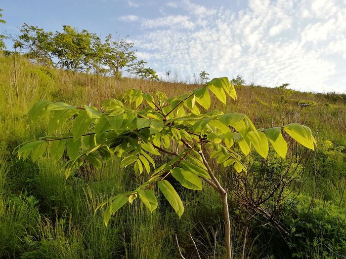 Young Manchurian nut tree on the mountain Juglans Juglans Mandshurica Far East Relict Cloud - Sky Day Mountain Summer Manchurian Walnut Manchurian Tree Leaf Sky Green Color Plant Close-up Non-urban Scene