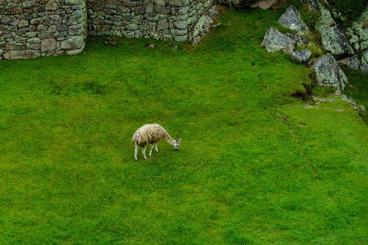 High angle view of llama at machu picchu