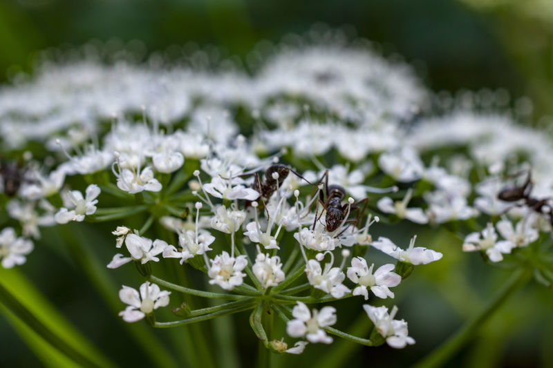 Ants Ant Aegopodium Podagraria Pollen Pollination Flower Head One Animal Vulnerability  Freshness No People Nature Fragility Close-up Growth White Color Animal Wildlife Animal Beauty In Nature Invertebrate Flowering Plant Animals In The Wild Animal Themes Insect Plant Flower Ground Elder