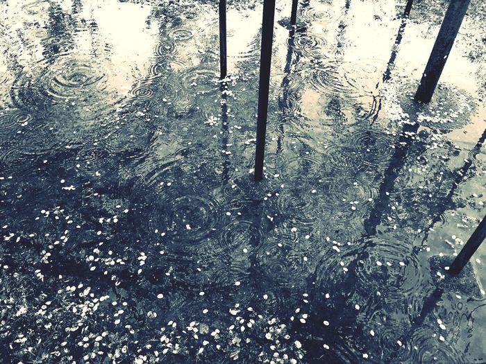 Rainy Day Rain Blackandwhite B&w Blackandwhite Photography Cherry Blossoms