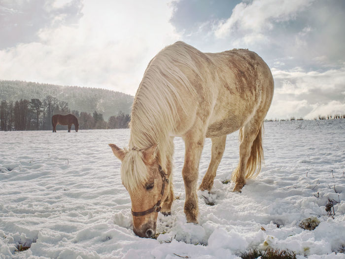 Close view to withe horse feding in snow. amazing winter morning with farm horses.