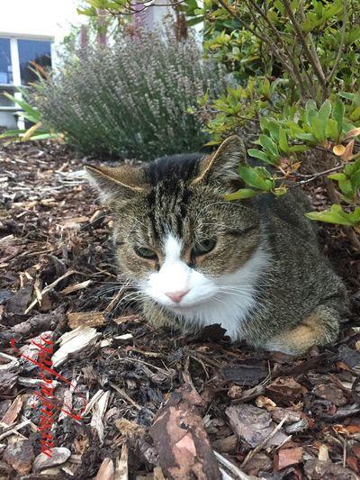 Nachbars Pussie 💕💗 Monique52 Domestic Cat Animal Themes Pussie Süss Katzenliebe Katzen 💜 Pussycat