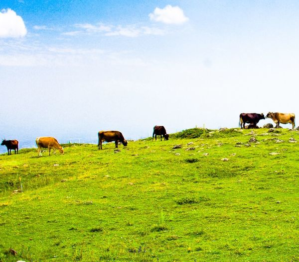 Cows grazing on grassy field