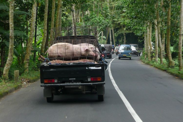 Pork Roast Pig Transportation Mode Of Transport Land Vehicle Tree Road Car Travel Rear View The Way Forward Day Outdoors No People Nature