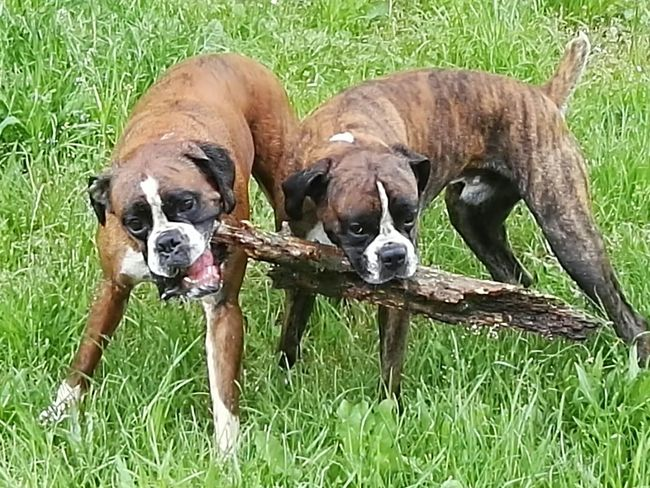 Two Is Better Than One Enjoying Life Beauty In Nature Brothers Boxer Dogs Apollo Und Baxter Apollo I Love My Dog Outdoors Animal Head