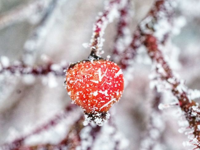 Frozen Rosehip Naturephotography Nature Beauty Nature's Diversities Ice Crystals Iced Winter Nature Day Frozen Nature Cold Weather Cold Temperature Beautiful Nature Beauty In Nature Nature Close-up Tree Fragility Red Day Outdoors No People Winter Snow Growth Branch Freshness