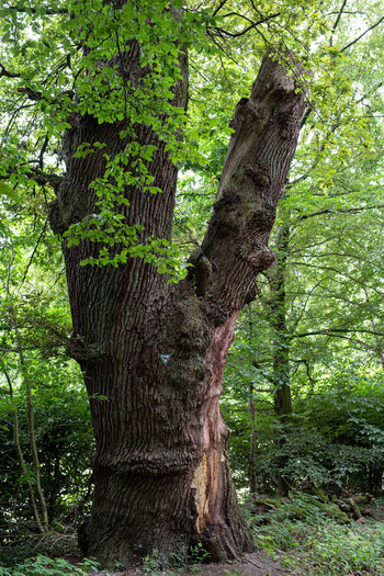 Tree Plant Tree Trunk Trunk Growth Forest Land Nature Green Color No People Tranquility Beauty In Nature Day WoodLand Branch Outdoors Environment Plant Part Foliage Non-urban Scene Bark Rainforest