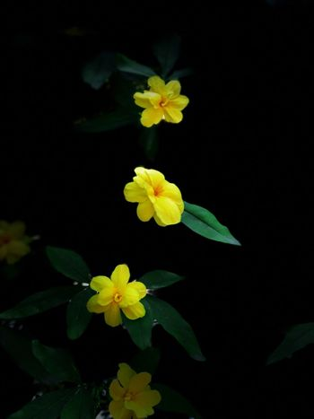 Flower Petal Fragility Freshness Flower Head Growth Beauty In Nature Plant Green Color Nature Leaf Blooming Yellow No People Close-up Day Black Background Outdoors Periwinkle EyeEmNewHere