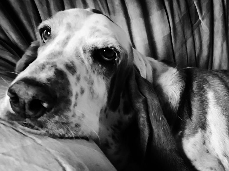 My little supermodel hound Lovinthecamera Very Photogenic Pets Dog Close-up Pampered Pets Check This Out Comfy And Cozy Bassetworld Bassethoundadventures Bassetmoments Bassetphotography Ilovebassethounds Iphonephotography Posing For The Camera Enjoying Life Doggie Love Blackandwhite Photography Looking At Camera