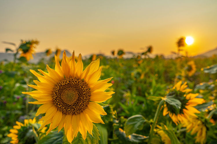 Close-up of yellow flowering plant on field during sunset