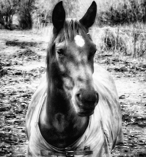 Animal Themes Horse Domestic Animals One Animal No People Day Mammal Outdoors Close-up Nature EyeEm Best Shots Beauty In Nature Horses Horse Riding Horse Life Horse Photography  Horseriding Horse Racing Black And White Photography Blackandwhite Photography Black And White Black And White Portrait Black Horse Horse Love Animal Portrait