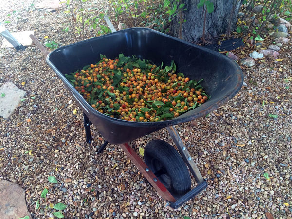 A wheel barrow full of crab apples. Harvesting fruit for homemade wine. Apples Autumn Crab Apple Tree Crops Farming Harvest Harvesting Homemade Wine Wheel Barrow Wine Making First Eyeem Photo
