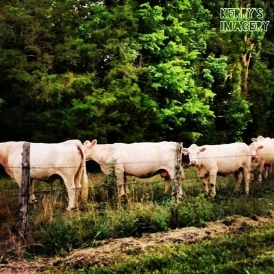 FOOD LINE Insta_exploring Instatennessee Instagramtennessee Instagram Ig_unique LIKE_A_LOCAL USA Tennessee Lebanon Home_sweet_home Summer Trees Greenery Nature Livestock cattle