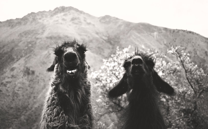 Low angle view of llamas against mountain