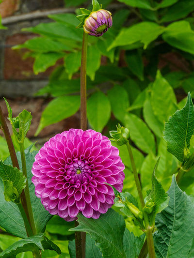Pink Dahlia Beauty In Nature Blooming Close-up Dahlia Day Flower Flower Head Focus On Foreground Fragility Freshness Green Color Growth Leaf Nature No People Outdoors Petal Pink Color Plant Purple