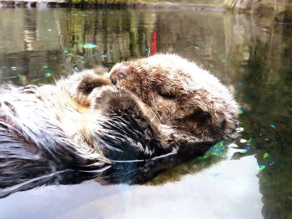 Water Tranquility Animal Otter Canada Vancouver Aquarium